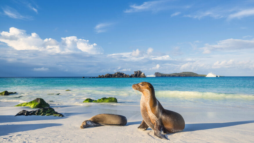 Galapagos sea lions (Zalophus wollebaeki) are sunbathing in the last sunlight at the beach of Espanola island, Galapagos Islands in the Pacific Ocean. This species of sea lion is endemic at the Galapagos islands; In the background one of the typical tourist yachts is visible. Wildlife shot.