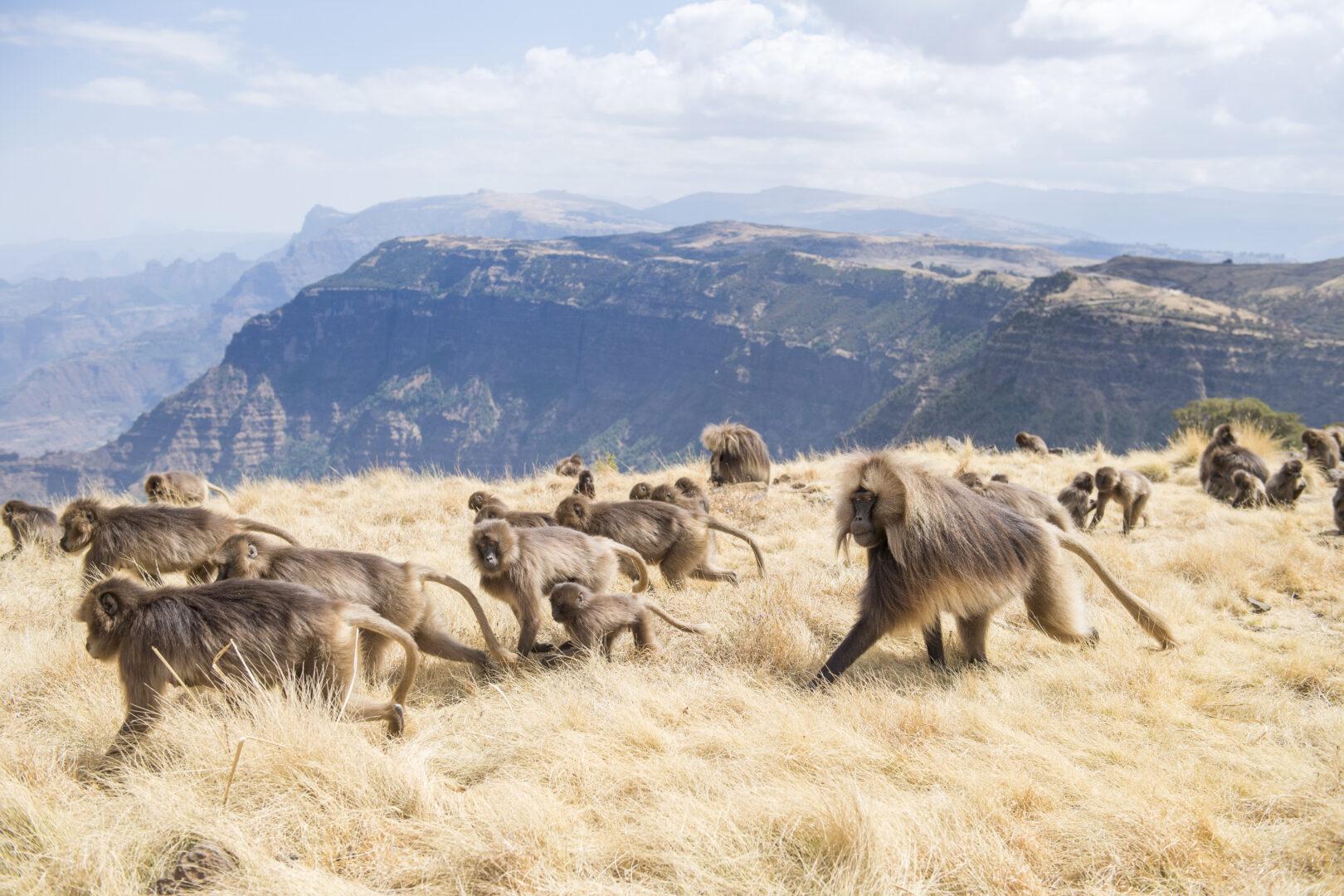 Gelada Baboons in Semien Mountains National Park, Ethiopia