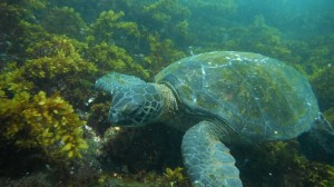 Green Sea Turtle, Galapagos Islands, Ecuador