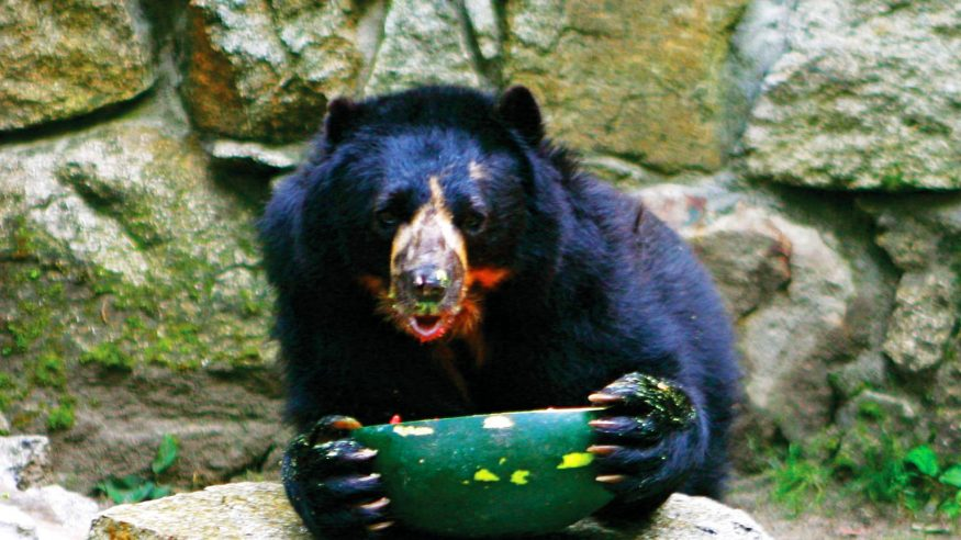 Inkaterra spectacled bear project