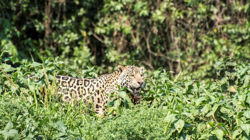 Jaguar in the Pantanal, Brazil