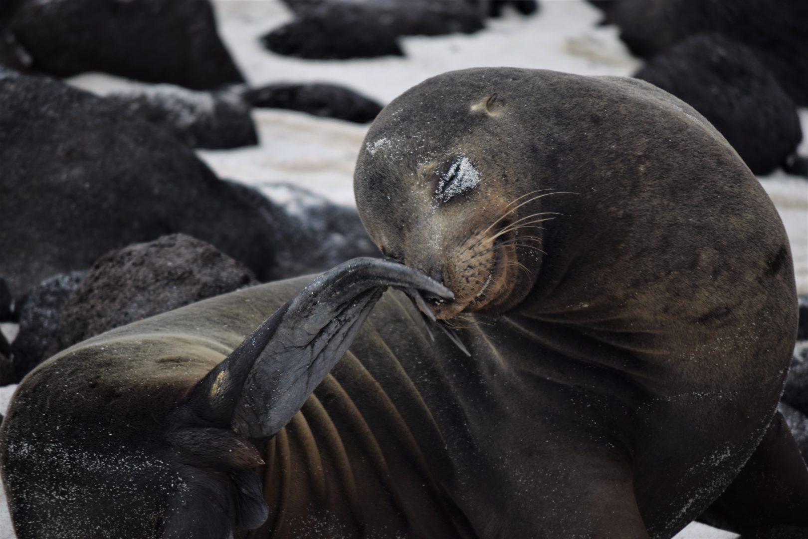 Galapagos sea lion (photo credit Richard Kranzley)