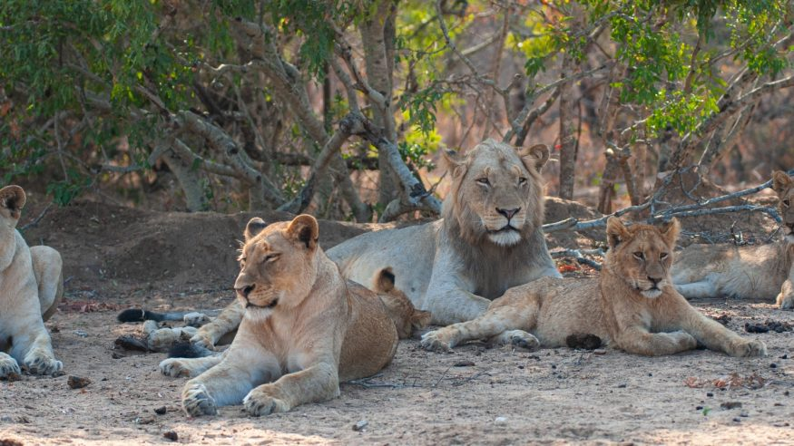 Members of a pride of Lions seen on a safari in Kruger National Park, South Africa