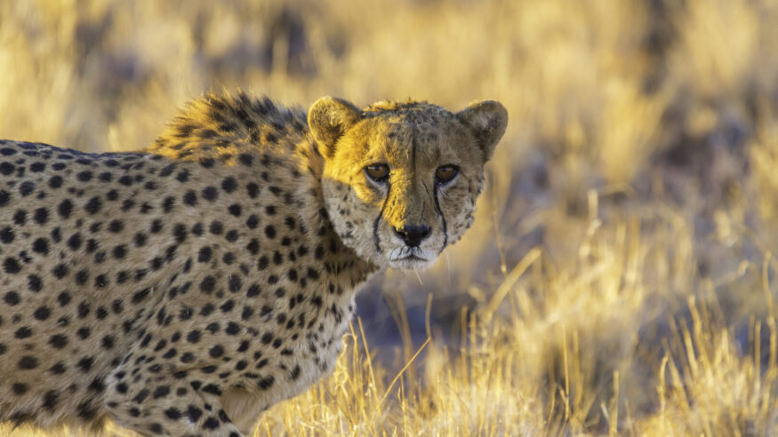 Cheetah in the Etosha National Park, Namibia's greatest wildlife reserve