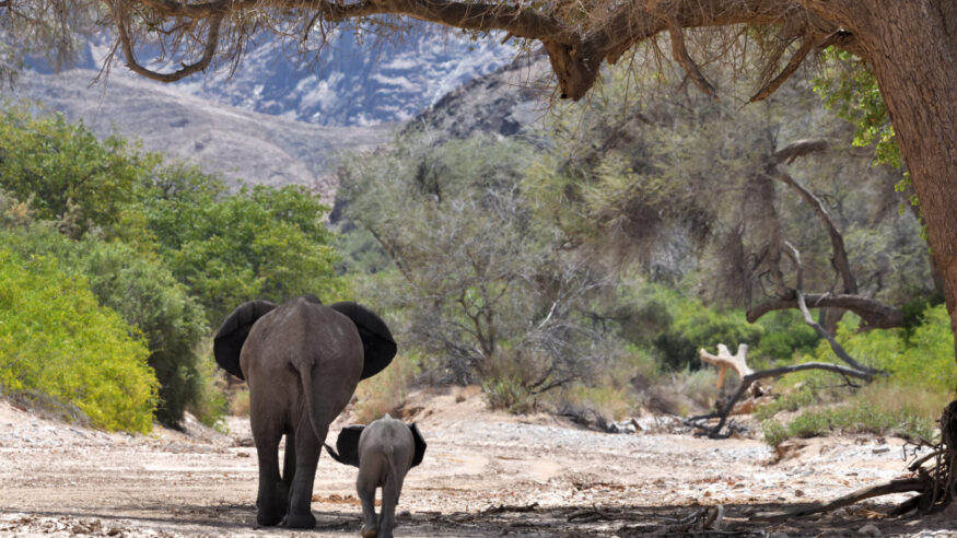 The mother and the young elephant have their back to the camera, and are walking away through the dry river bed. The calf is at his mother's side. They are framed by a tree, and in the distance the mountains can be seen.  Desert adapted elephants are not a separate species but do have several adaptations developed to help them live in the desert. This includes larger feet, thinner legs and smaller bodies than their savannah dwelling brothers.  The photo was taken in a remote area of the Hoanib River near Sesfontein, on the Damaraland and Koakoland border, in the Kunene Region of North West Namibia, in February 2020