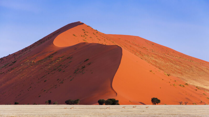 Herd of Springbok passing in front of a red dune in Sossusvlei, Namibia; Concept for traveling in Africa and Safari