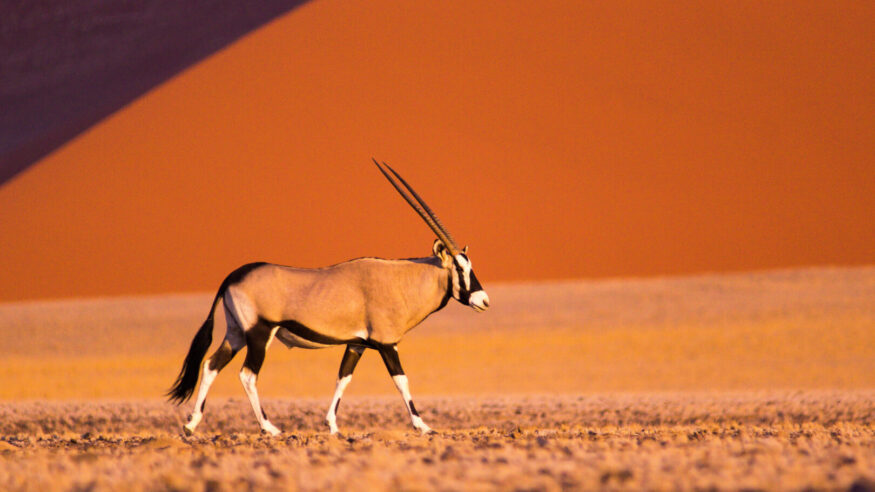 Profile of an Oryx in front of a sand dune in Sossusvlei, Namibia