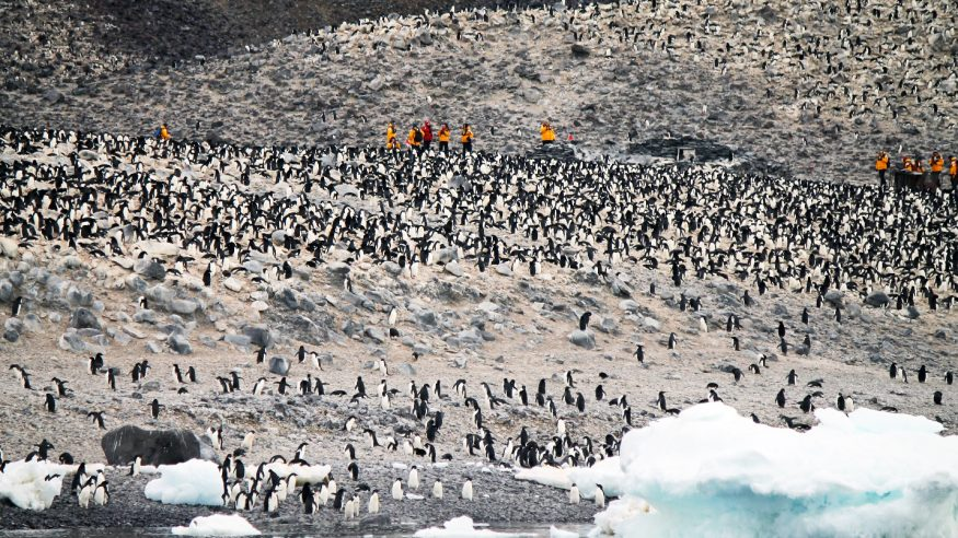 Paulet Island penguin colony