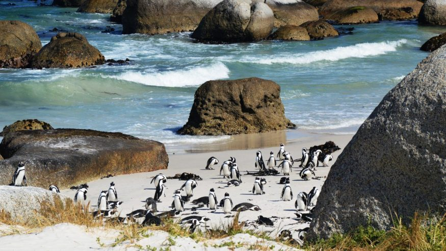 Penguins at Cape of Good Hope