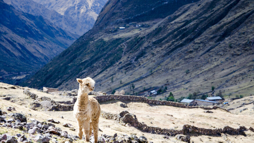 A Lama close to a small village on Lares Trek, Peru. In the background you see a couple of sheep farmers cottages