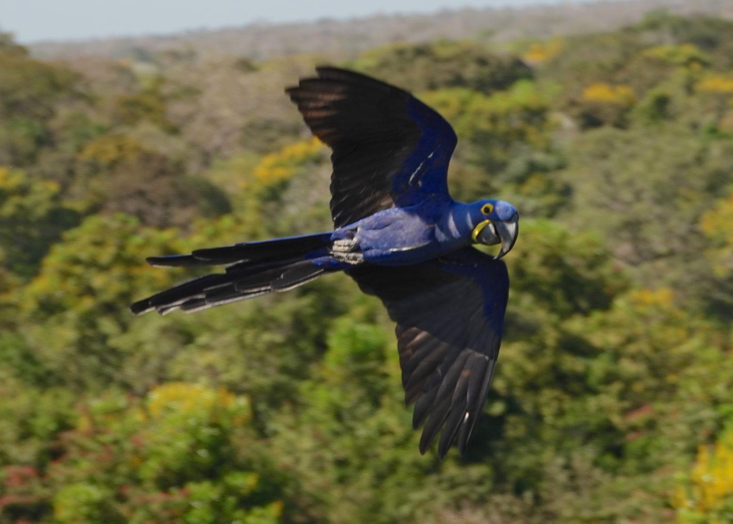 Hyacinth Macaw (photo credit John Uscian)