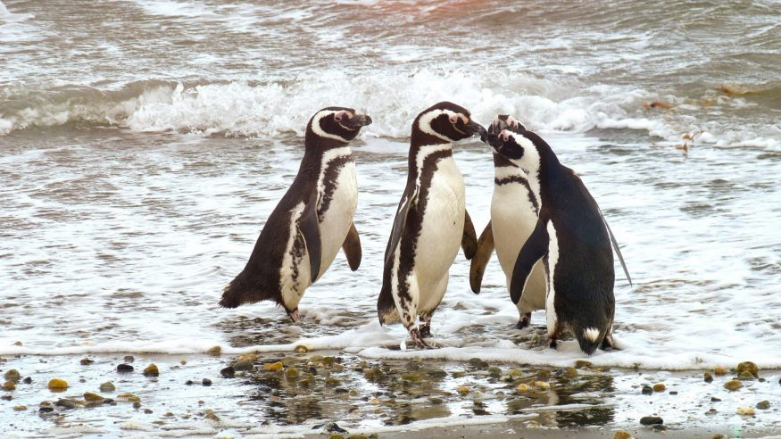 Patagonia Wildlife - Penguins