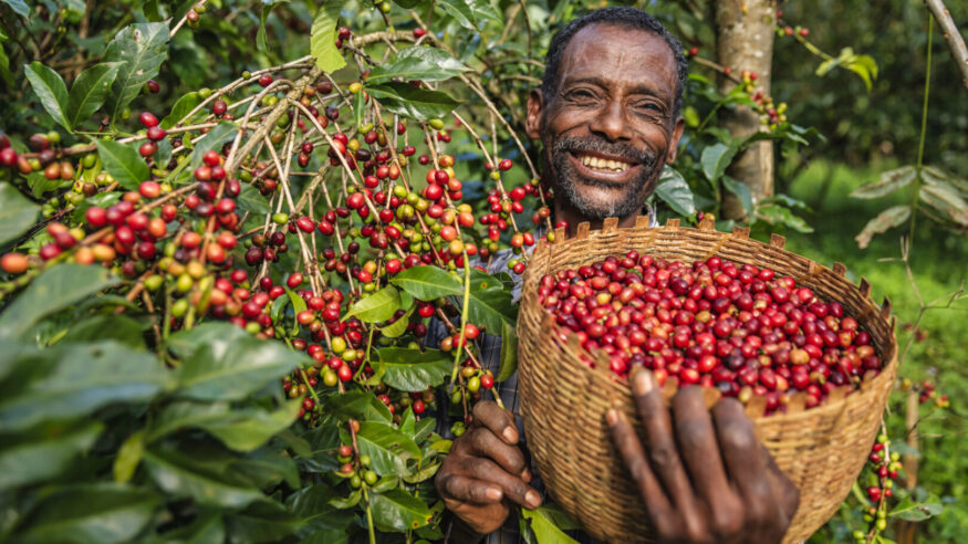 African man collecting coffee berries from a coffee plant, Ethiopia, Africa. There are several species of Coffea - the coffee plant. The finest quality of Coffea being Arabica, which originated in the highlands of Ethiopia. Arabica represents almost 60% of the world's coffee production..