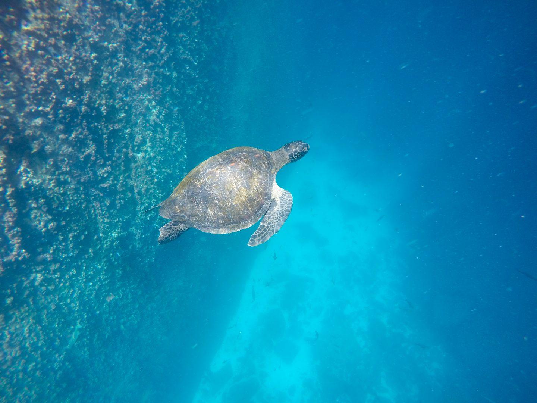 Sea-turtle-swimming-in-the-Galapagos-Islands