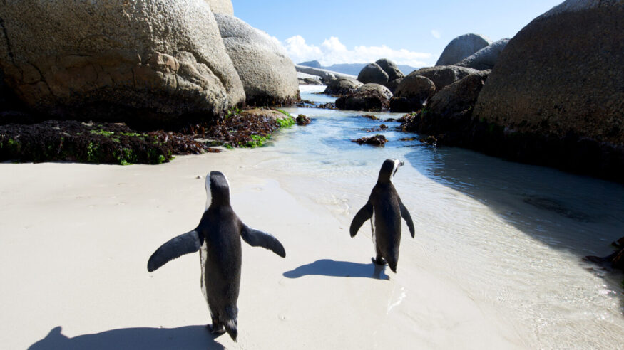 African jackass penguins spread theit wings at Boulder's Beach,Cape Town