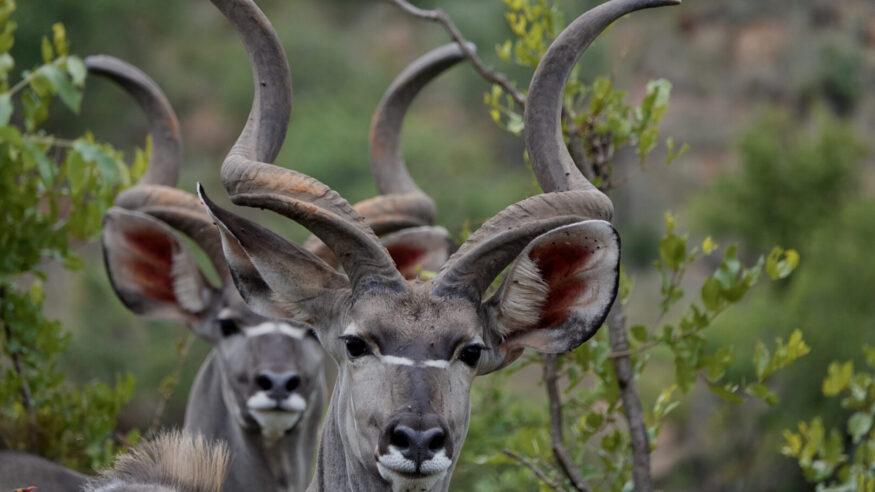 Kudus are Madikwe Game Reserve