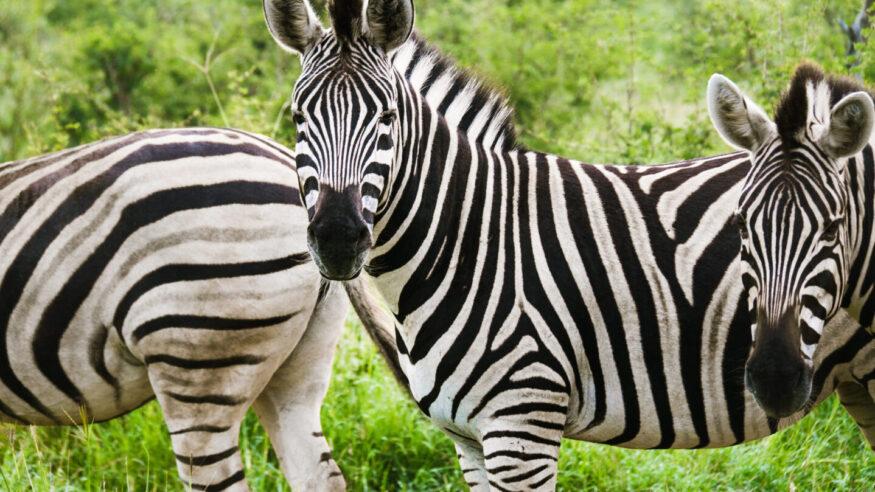 Wild animals, safari in South africa.