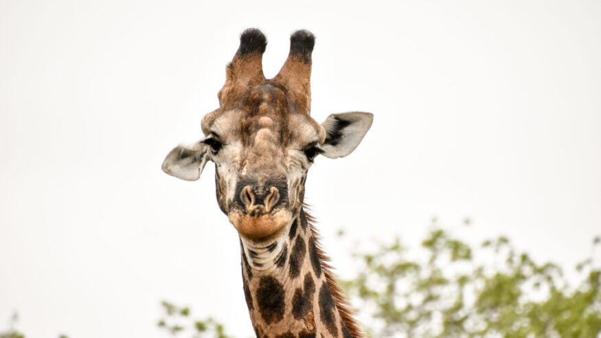 Giraffes viewed in the wild while on safari in Sabi Sands Game Reserve, South Africa.