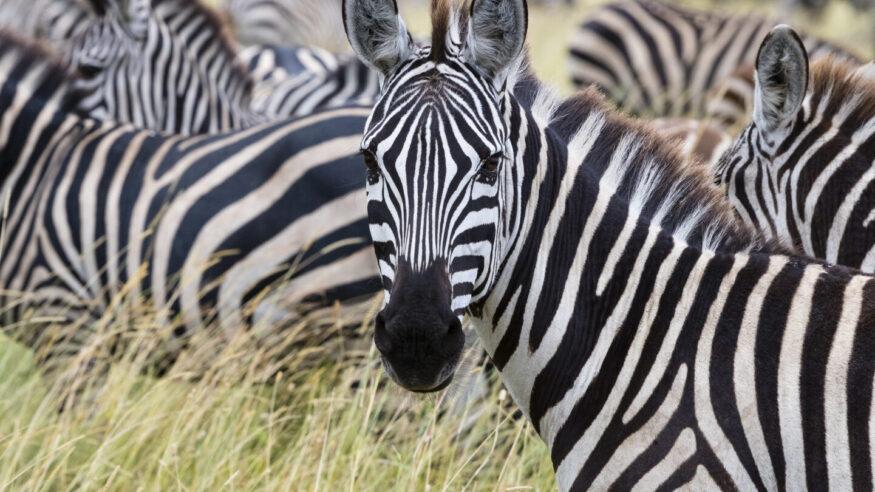 Close-up of Zebra looking at camera. Serengeti national park.