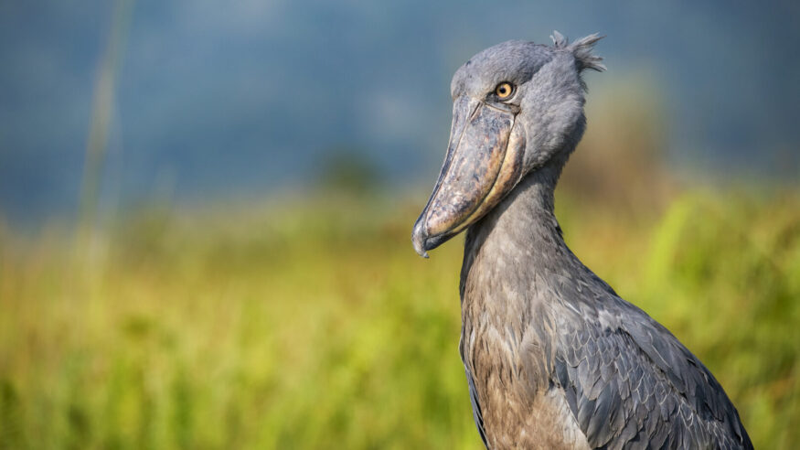 Wildlife shot of an extremely rare Shoebill (Balaeniceps rex) at the shores of Lake Victoria, Uganda. This stork-like waterbird is getting up to a height of 120 cm, outstanding is the unique bill. While the shoebill is called a stork, genetically speaking it is more closely related to the pelican or heron families. The shoebill is could be found in wetlands or swamps in a few regions of Eastern and Central Africa and it is critical endangered.