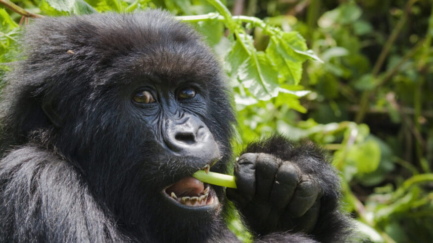 A female gorilla of the Umubano group in Rwanda's Parc National des Volcans, feeding on wild celery