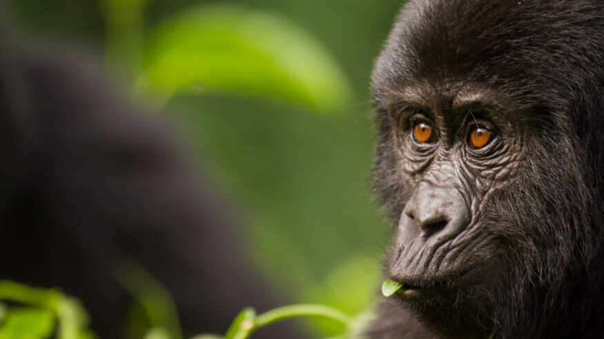 While trekking in Uganda I came across a group of mountain gorillas that allowed me to get really close.