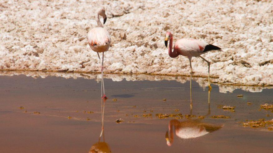 Chile - San Pedro de Atacama - Wildlife - Flamingos