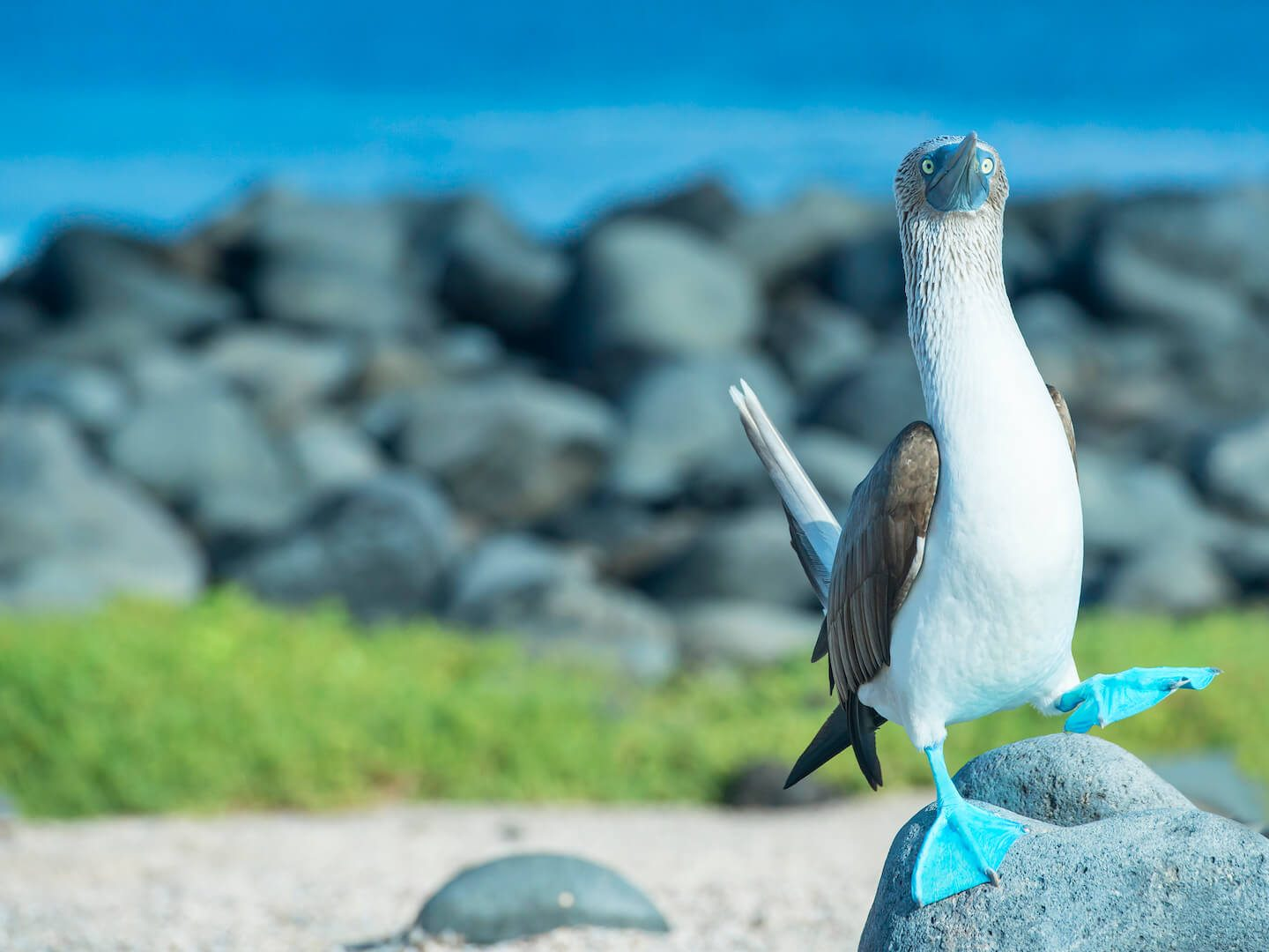 Blue-footed booby in the Galapagos Islands