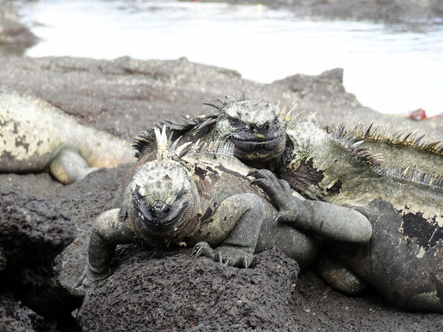 cuddling marine iguanas