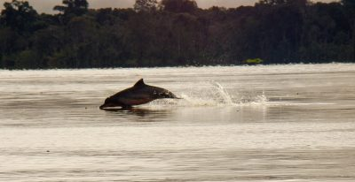 Amazon Wildlife - Dolphin