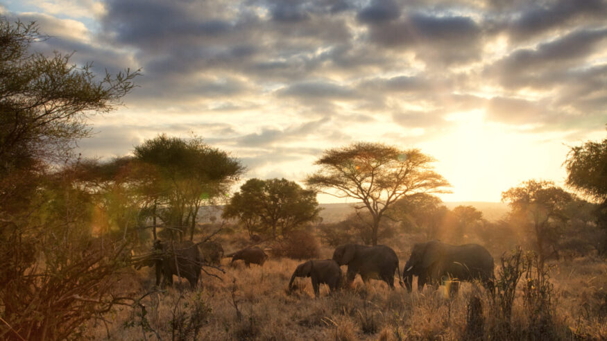 A family of elephants in Tarangire National park, Tanzania. Natural lens flares add to the intensity of the sunrise.