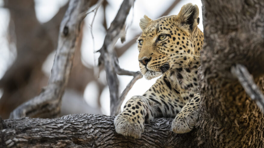 A young African leopard (Panthera pardus pardus) high up in a tree. wildlife. Moremi wildlife reserve, Okavango Delta, Botswana.
