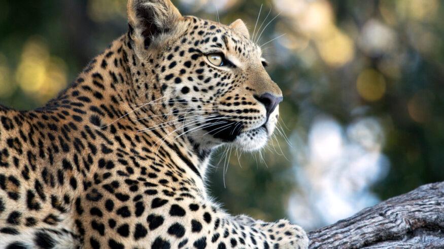A wild leopard spotted on the Okavango Delta in Botswana.