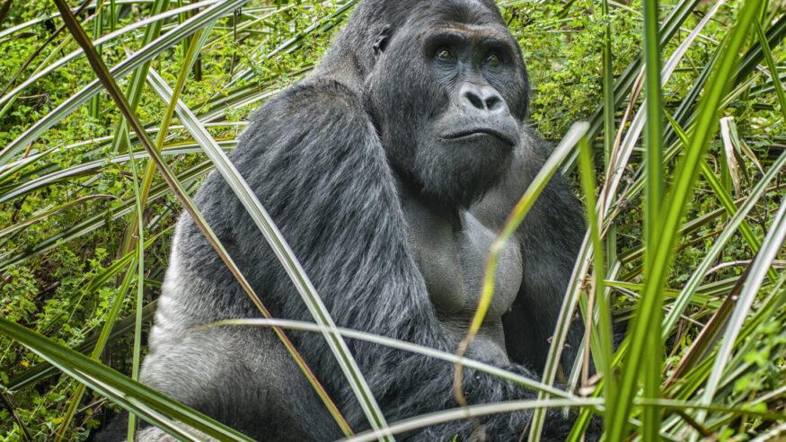 Silverback (dominant male)  Eastern Lowland Gorilla (gorilla beringei graueri).  Location: Kahuzi Biega National Park, South Kivu, DR Congo, Africa. Shot in wildlife.