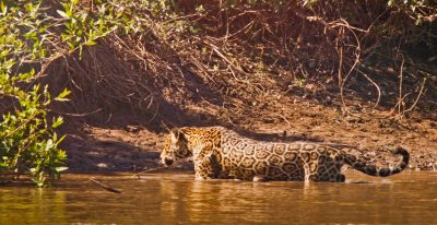 Pantanal Wildlife - Jaguar