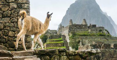 Llama at Ruins in Machu Picchu