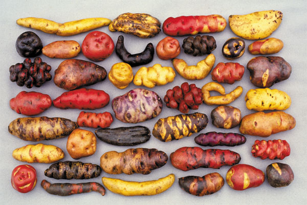 potatoes - peru travel and tours - vaya adventures