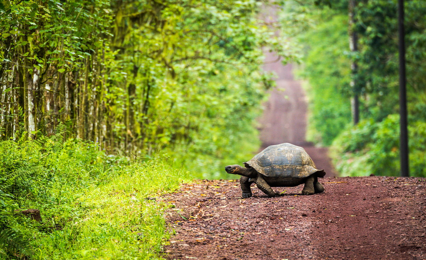 Galapagos giant tortoise crossing the road